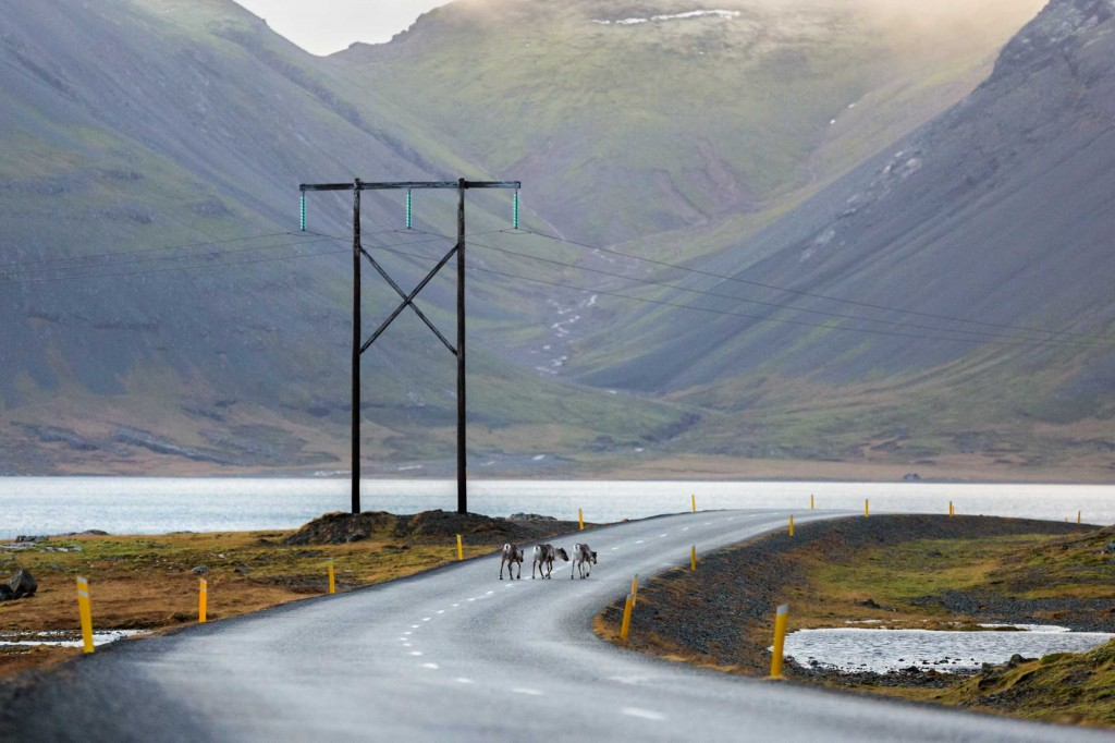 reindeer on the road while winter driving in iceland